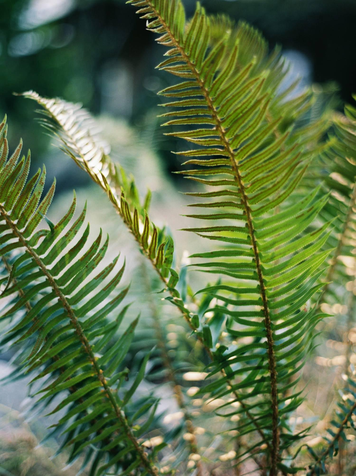 Close up of ferns on Bainbridge Island